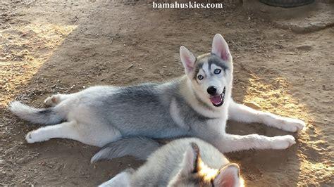 Husky Kennel Update  Siberian Husky Puppies For Sale