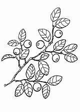 Coloring Pages Berries Fruit Books Fruits Painting sketch template