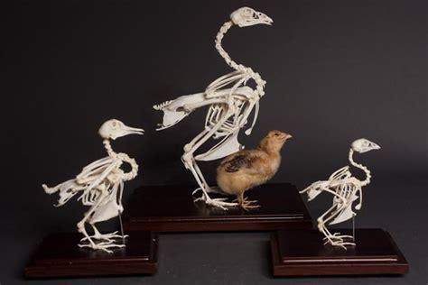 chicken skeleton rental dapper cadaver props