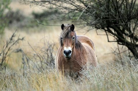 wild horses europe european wildlife breed horse exmoor pony which grasslands national wilderness into retuerta zoo moscow park photogallery