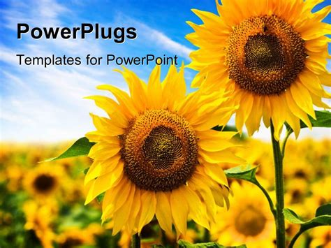 powerpoint template  beautiful sunflowers