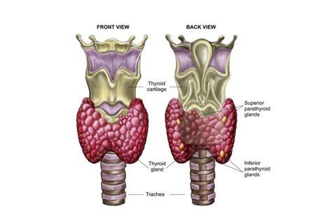 thyroid gland   endocrine system