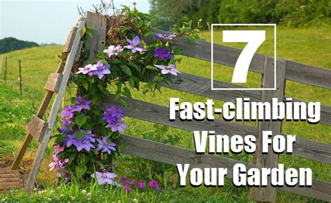 7 Fastclimbing Vines For Your Garden  Diy Home Things