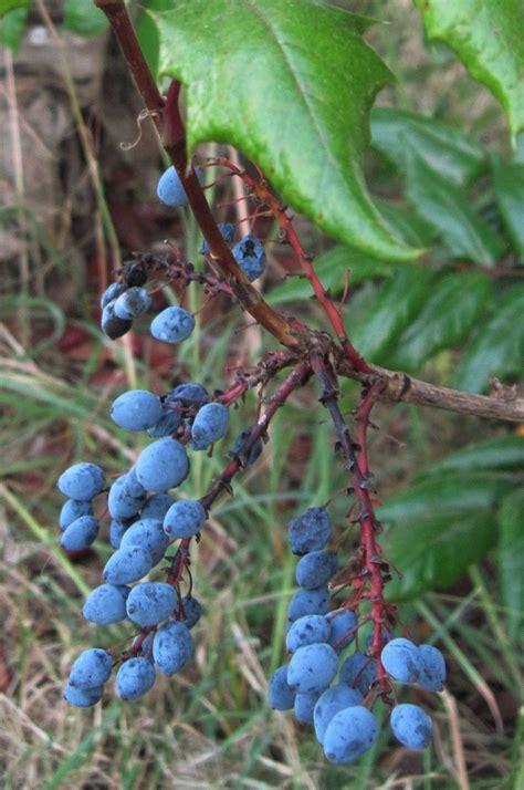 Oregon Grape Jam