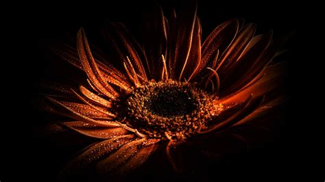 Black And Orange Flower Wallpaper by Drops Drop Up Orange Light Shadow Flowers Bloom
