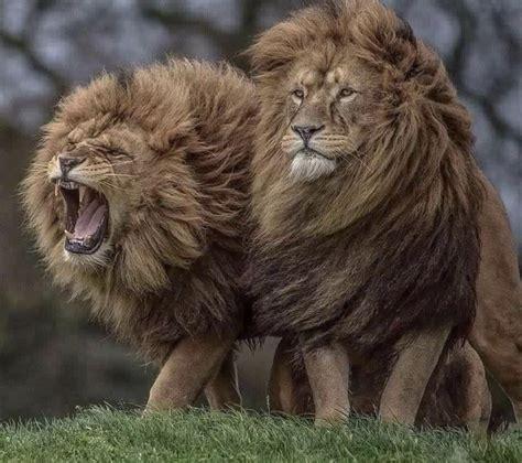 majestic lions natureisfuckinglit