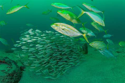 grouper goliath swimming super eggs