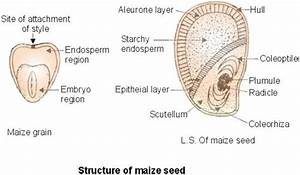 Maize  U0026 Bean  Structure And Function Of Maize And Bean