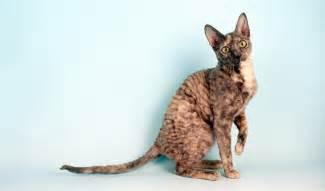tortoiseshell cat behavior cornish rex cat breed information