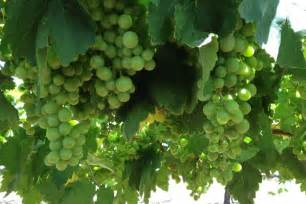 grape tree care ti tree grapes abc rural australian broadcasting corporation