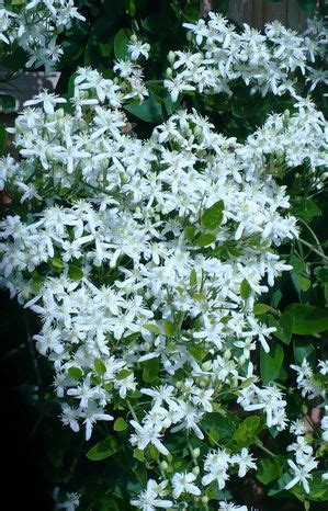 silver lace vine buy   prices
