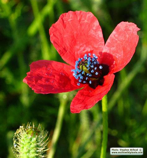 http://www.maltawildplants.com/PAPV/Papaver_hybridum.php