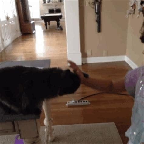 robin hood puppy steals  bikini  denied  glass door