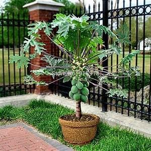 Fruit-seeds-RARE20-Seed-Dwarf-hovey-Papaya-Tree-Plant ...