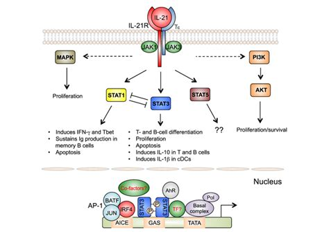 Signaling Pathways Activated By Il-21. Il-21 Activates Jak