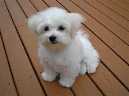 Maltese Training Profile Dog Grown Breed Fully