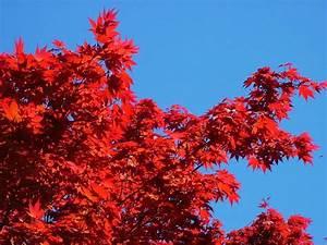 Baum Mit Roten Blättern : rote bl tter im sonnenschein foto bild pflanzen pilze flechten b ume natur bilder auf ~ Eleganceandgraceweddings.com Haus und Dekorationen