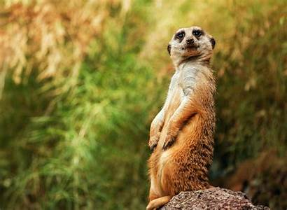 Funny Meerkat Sitting License