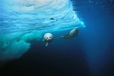 harp seals characteristics habitats reproduction
