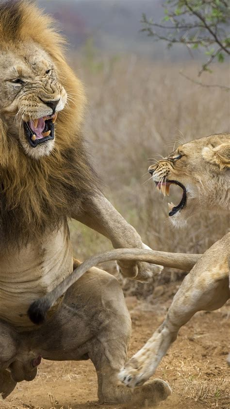 wallpaper lioness  lion attack  uhd  picture