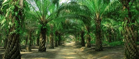 demand  oil palm increases gepa exporters portal