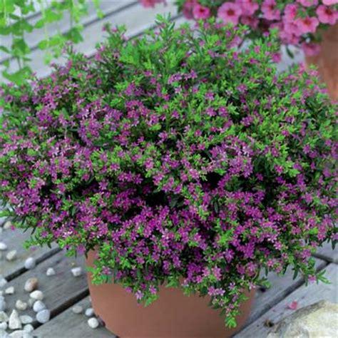 jual tanaman hias bunga purple hawaiian heather