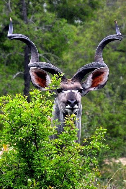 big kudu bull flickr photo sharing