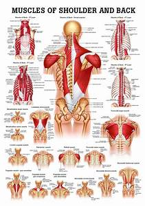 Muscles Of The Shoulder And Back Laminated Anatomy Chart