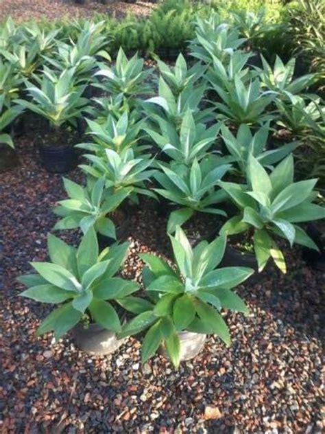 agave vaso planta agave vazlon brasil