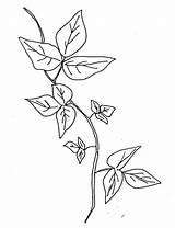 Ivy Poison Coloring Drawing Plant Vine Sketch Template Leaves Tattoo Printable Flower Drawings Sketches Plants растения Templates Clipart Edera Disegno sketch template