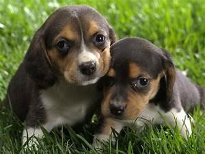 Reagle (Rottweiler X Beagle Mix) Info, Temperament ...
