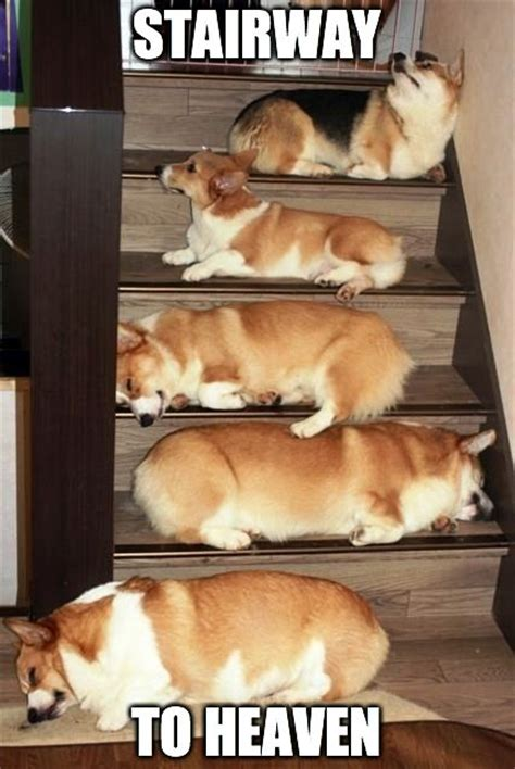 Corgi Puppy Meme - stairway to heaven cute corgi animals pinterest stairways heavens and corgis