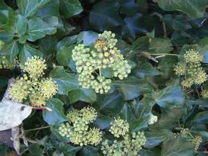 Ivy Plants with Flowers