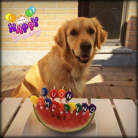 Ginger Happy Birthday 2 Years Golden Retriever A Mans