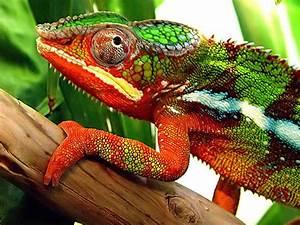 How Do Chameleons Camouflage Themselves