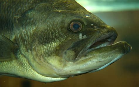 Images Of Bass Fish Largemouth Bass