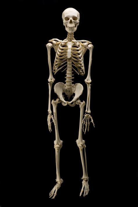 Animal Skeleton Wallpaper - skeleton wallpapers sports hq skeleton pictures 4k