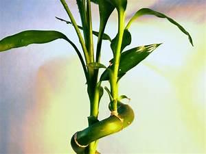 Bambus Pflege Zimmerpflanze : sanders drachenbaum drachenbaum pflege ~ Michelbontemps.com Haus und Dekorationen