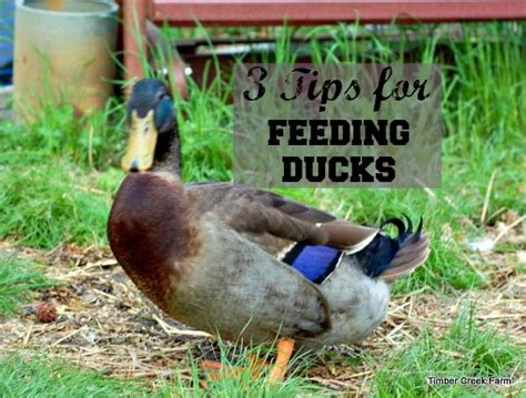 3 tips for feeding ducklings timber creek farm