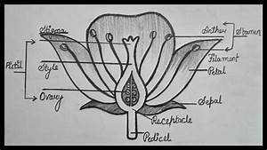 How To Draw Longitudinal Section Of Flower
