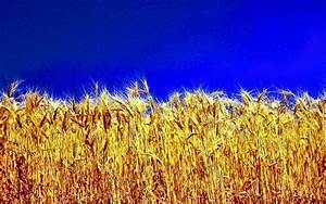 WHEAT [04] wheatfieldtriticum [18may2013saturday] [073256 ...