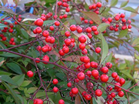 shrub with berries in winter stock photo showcase 187 archives 187 ornamental shrub with red berries in winter