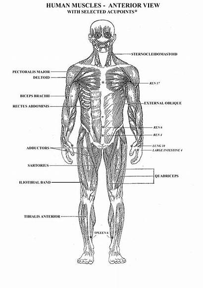 Coloring Muscular Muscle Diagram Human System Printable