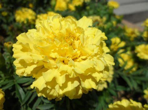 kostenlose foto sonnenschein blume gelb flora