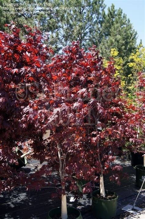 plantfiles pictures japanese maple red emperor acer