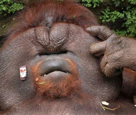 larger  life meet  oversized orangutan aol uk travel