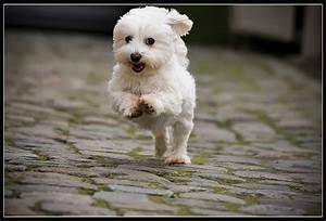Milo, the little white dog | Flickr - Photo Sharing!
