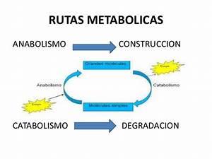 Metabolismo de nutrientes diapositivas