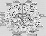 Brain Anatomy Coloring Printable Psychology Worksheet Worksheets Neuroanatomy Human Words Cursive Sketch Diagram Writing Pdf Math Colouring Dividing Worskheets Decimals sketch template