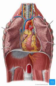 Heart Auscultation And Percussion  Anatomy And Technique